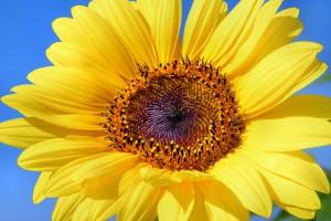 sun-flower-179010_960_720