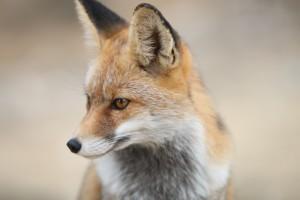 fox-2825118_960_720