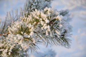 pine-1922904_960_720
