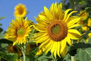 sun-flower-3526901_960_720