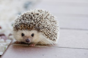 hedgehog-1215140_960_720
