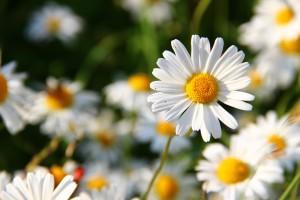 daisies-276112_960_720