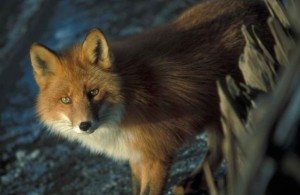 red-fox-detailed-photo-725x472
