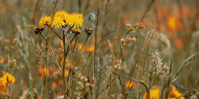 wild-flower-meadow-3386078_960_720